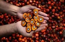 Exportación de aceite crudo de palma de Malasia supera ocho millones de toneladas