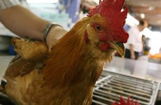 Indonesia adopta medidas preventivas contra gripe aviar