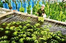 Provincia altiplánica vietnamita exporta primer lote de plátanos a Japón