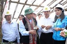 Ginseng Ngoc Linh es tesoro de Vietnam, afirma Premier
