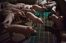 Premier vietnamita urge acelerar medidas preventivas contra peste porcina africana