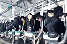 Grupo vietnamita importa cerca de mil 800 vacas de alto rendimiento de Estados Unidos