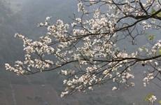 Celebrarán sexto festival de flor de Bauhinia en provincia norvietnamita