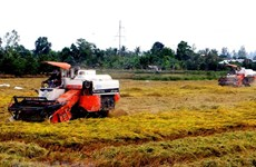 Empresas arroceras vietnamitas enfrentan oportunidades y desafíos de la liberalización comercial