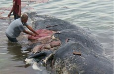Encuentran en Indonesia cadáver de ballena con seis kilos de plástico en su estómago