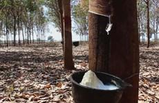 Tailandia aprueba millonario programa de subsidio para caucheros