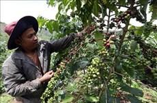 Provincia de Dak Nong acogerá Día de Café vietnamita en diciembre