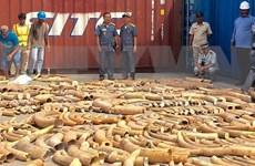 Camboya decomisa mayor cantidad de colmillos de elefantes