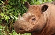 """Indonesia: Nuevo tsunami podría """"eliminar"""" totalidad de rinocerontes"""