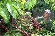 Vietnam ingresó tres mil 540 millones de dólares por exportaciones de café en 2018