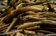 Incautan autoridades vietnamitas escamas de pangolín y colmillos de elefantes