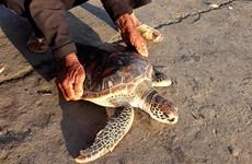 Restacan en Vietnam tortuga incluida en el Libro Rojo internacional