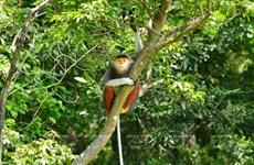 Península de Son Tra, paraíso de los doucs de canillas rojas en Vietnam