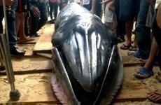 Entierran restos de ballena de 10 toneladas en Bac Lieu