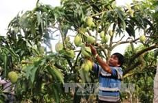 Logra Vietnam permiso para la exportación de mangos a Estados Unidos