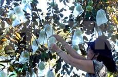 Triplicarán exportaciones vietnamitas de caimito a Estados Unidos