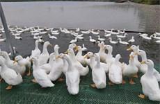 Proyecta empresa conjunta entre Vietnam y Australia potenciar la exportación de carne de pato