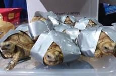 Incautan en Filipinas más de mil 500 tortugas abandonadas en equipaje