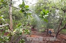 Planea grupo holandés invertir en cultivo del anacardo en Vietnam