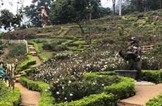 Implanta complejo turístico récord del mayor jardín de rosas en Vietnam