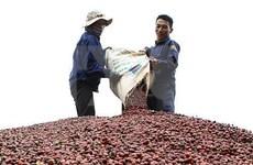Impulsará Vietnam la producción de café especializado