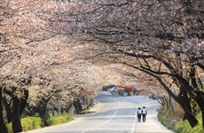 Promueve Corea del Sur programa de turismo de primavera en Vietnam