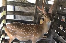 Reconoce Vietnam la indicación geográfica al asta de ciervo de Huong Son