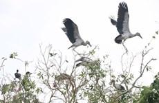 Intensifican en Vietnam protección de picotenazas asiáticos, ave en peligro de extinción