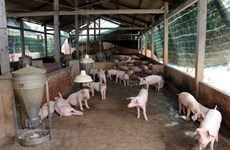 Detectan primer brote de fiebre porcina en Noreste de Camboya