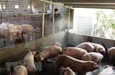Detectan en Vietnam nuevos  brotes de peste porcina africana