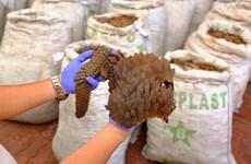 Incautan en Singapur 13 toneladas de escamas de pangolín