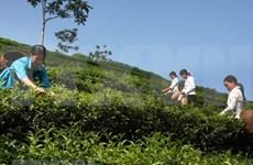 Aumentan exportaciones vietnamitas de té  un 15,4 por ciento en el primer trimestre en 2019