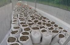 Incautan en Singapur casi 13 toneladas de escamas de pangolín