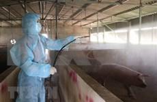 Sacrificaron en Vietnam más un millón de animales debido a peste porcina africana