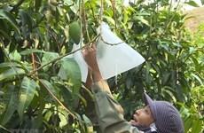 Exportará provincia vietnamita de An Giang mangos a EE.UU.