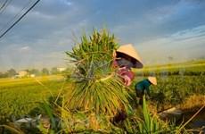 Califican a China como un exigente mercado potencial para el arroz vietnamita