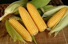 Anuncian que Filipinas importará 300 mil toneladas de maíz