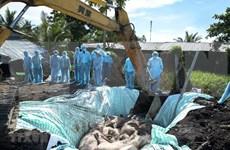 Orienta primer ministro de Vietnam medidas drásticas contra la peste porcina africana