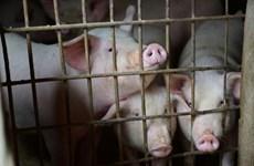 Tailandia refuerza medidas de prevención contra la peste porcina africana