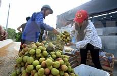 Exporta Vietnam más de 13 mil toneladas de lichi a China