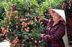 Provincia vietnamita de Bac Giang aumenta exportación de lichi