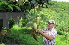 Exporta casi 80 millones en productos agrícolas provincia vietnamita de Son La