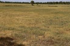 Afecta la sequía al sector arrocero en Tailandia