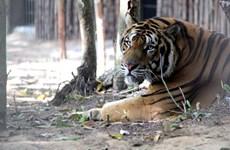 Alertan en Vietnam sobre la creciente comercialización ilegal del tigre
