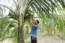 Promoverán productos de coco de Vietnam mediante festival en provincia de Ben Tre