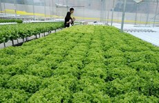 Desarrollan en Vietnam cultivo de vegetales en zonas urbanas