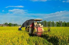 Comparten en Vietnam experiencias sobre enfermedad bacteriana de hojas del arroz