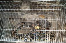 Rescatan en Vietnam  serpiente pitón reticulada, especie en peligro de extinción