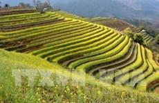 Efectuarán en Vietnam Festival de Terrazas de Arroz Mu Cang Chai