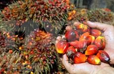 Protege Indonesia producción del aceite de palma